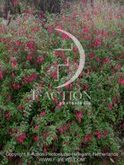 botanic stock photo Fuchsia