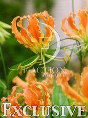 botanic stock photo Gloriosa