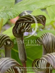 botanic stock photo Arisaema