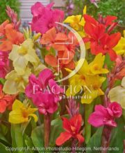 botanic stock photo Canna
