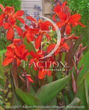 botanic stock photo Canna