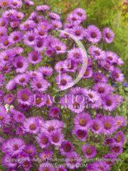 botanic stock photo Aster