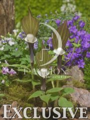 botanic stock photo Arisaema