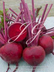 botanic stock photo Beet Crimson King