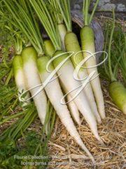 botanic stock photo Daucus carota Blanche a Collet Vert