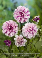 botanic stock photo Dahlia