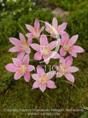 botanic stock photo Zephyranthes