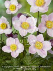 botanic stock photo Anemone