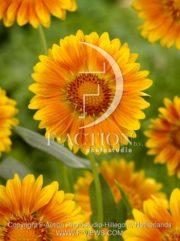 botanic stock photo Gaillardia