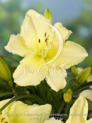 botanic stock photo Hemerocallis