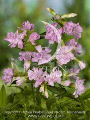 botanic stock photo Saponaria