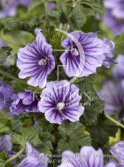 botanic stock photo Malva