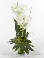 botanic stock photo Hippeastrum