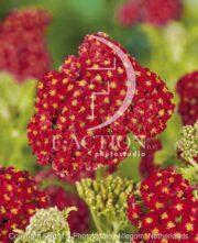 botanic stock photo Achillea
