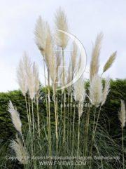 botanic stock photo Cortaderia