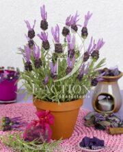 botanic stock photo Lavandula