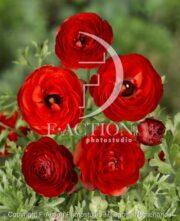 botanic stock photo Ranunculus