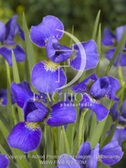 botanic stock photo Iris