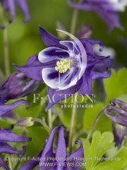 botanic stock photo Aquilegia