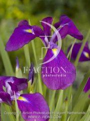 botanic stock photo Iris