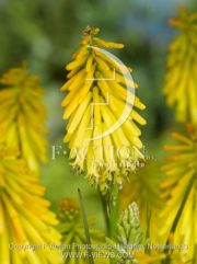 botanic stock photo Kniphofia