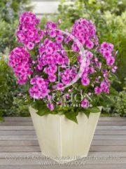 botanic stock photo Phlox