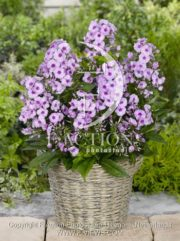 botanic stock photo Phlox