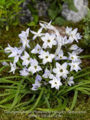 botanic stock photo Ipheion