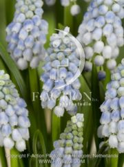 botanic stock photo Muscari