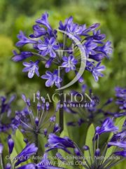 botanic stock photo Agapanthus