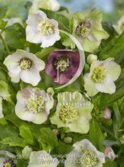 botanic stock photo Helleborus