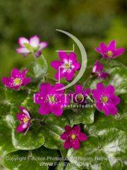 botanic stock photo Hepatica