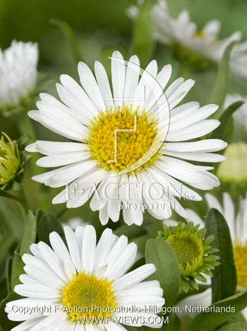 botanic stock photo Aster