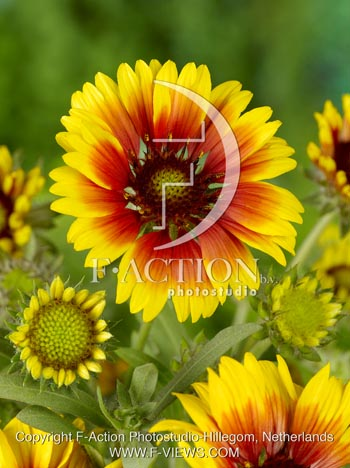 botanic stock photo Gaillardia