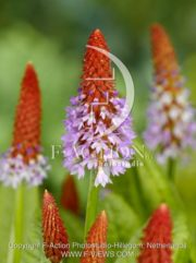 botanic stock photo Primula