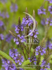 botanic stock photo Verbena