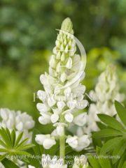 botanic stock photo Lupinus