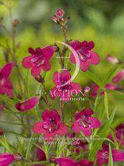 botanic stock photo Penstemon