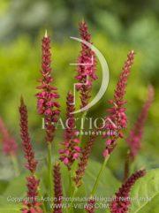 botanic stock photo Persicaria