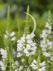 botanic stock photo Physostegia
