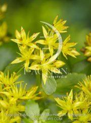 botanic stock photo Sedum