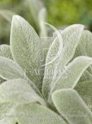 botanic stock photo Stachys