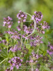 botanic stock photo Thymus