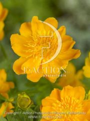 botanic stock photo Trollius