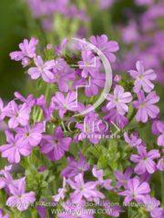 botanic stock photo Erinus