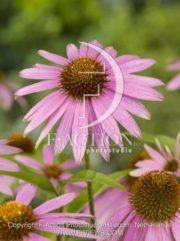 botanic stock photo Echinacea