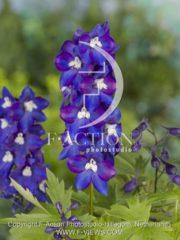 botanic stock photo Delphinium