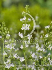 botanic stock photo Calamintha