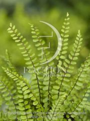 botanic stock photo Asplenium