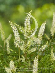 botanic stock photo Aruncus